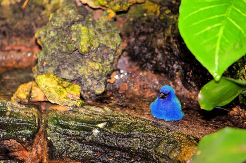 Uccello del Pappagallo-fringillide di Tricolored in uccelliera immagini stock