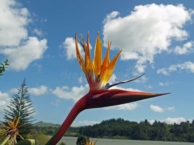 Uccello del paradiso fotografie stock libere da diritti