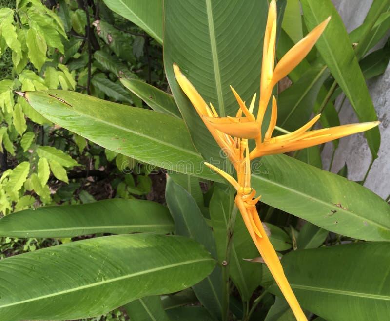 Uccello del paradiso giallo tropicale fotografie stock