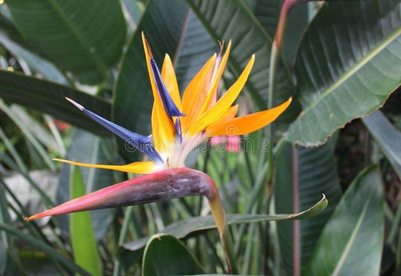 Uccello del paradiso regale immagini stock libere da diritti