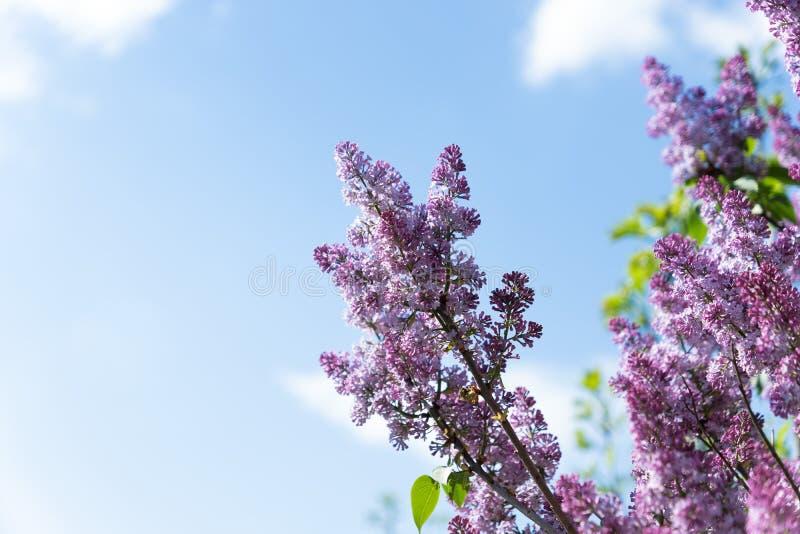 Uccello del passero sul ramo dei fiori lilla porpora rosa immagine stock libera da diritti