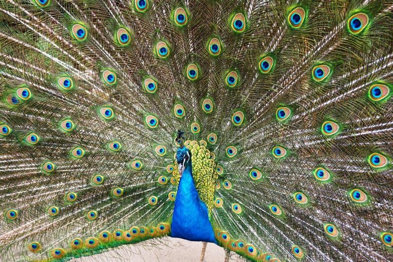 uccello del pavone di bellezza immagine stock