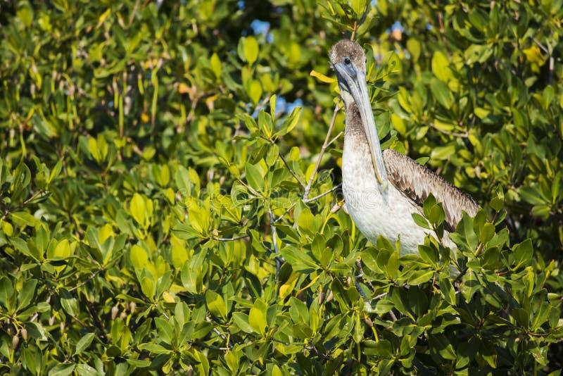 Uccello del pellicano fotografie stock libere da diritti