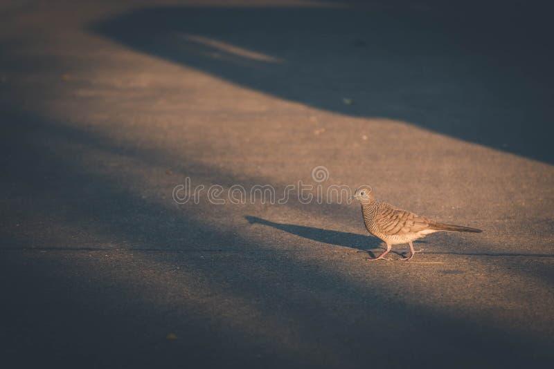 uccello del piccione che cammina nel tono scuro fotografia stock libera da diritti