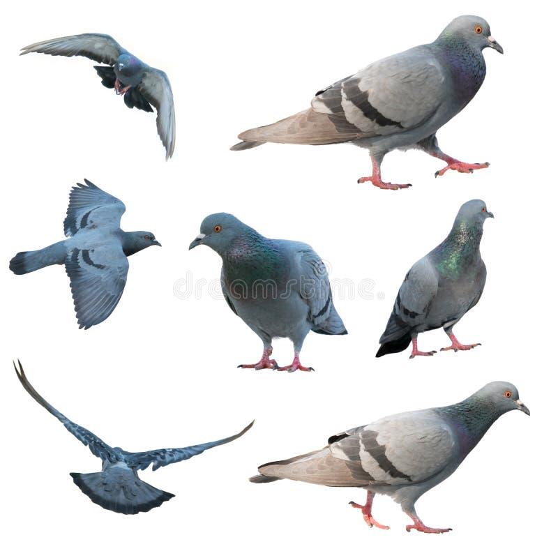 Uccello del piccione di volo isolato immagine stock