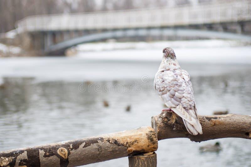 Uccello del piccione, stante sulla posta di legno contro uno sfondo naturale vago Una colomba sola si siede su un ramo di legno fotografie stock