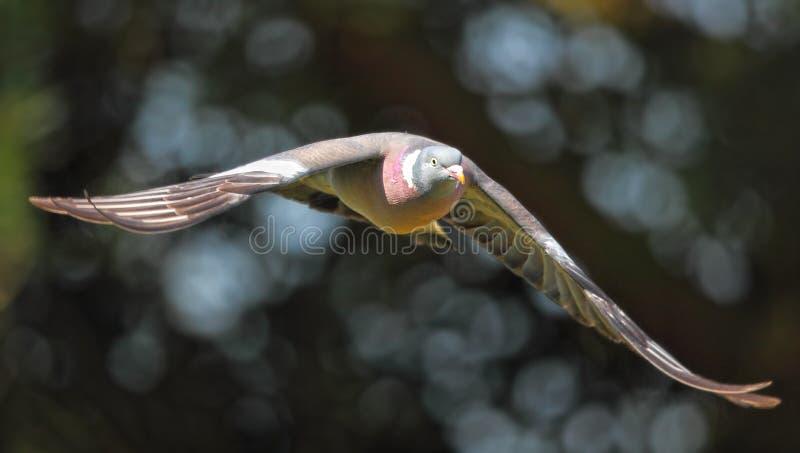 Uccello del piccione in volo fotografia stock libera da diritti
