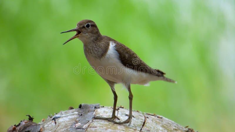 Uccello del piovanello sul ceppo dell'albero immagine stock