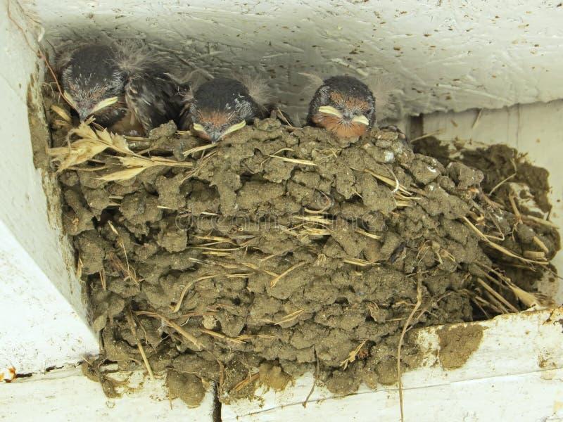 Uccello del sorso - uccello canoro con una coda biforcata e le ali a punta lunga fotografie stock