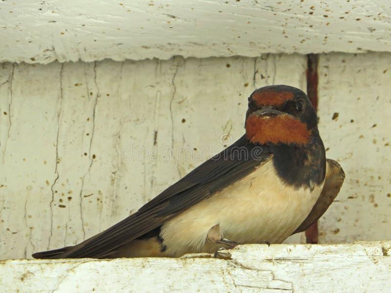Uccello del sorso - uccello canoro con una coda biforcata e le ali a punta lunga immagine stock