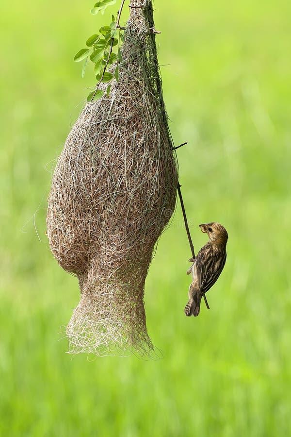 Uccello del tessitore immagini stock