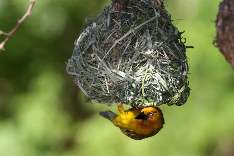 Uccello del tessitore al nido fotografie stock