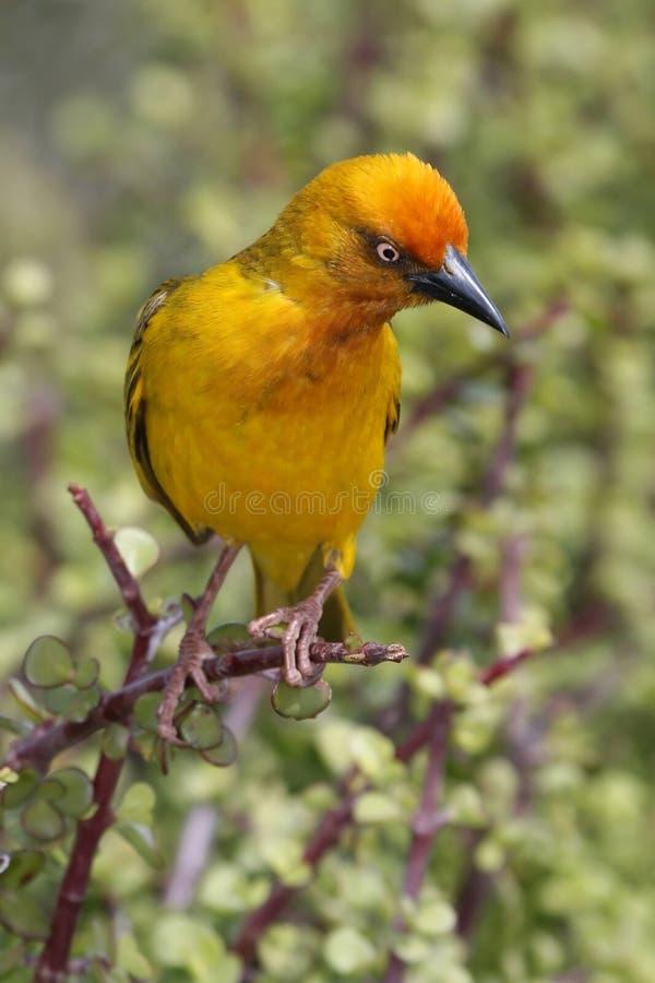 Uccello del tessitore del capo fotografie stock