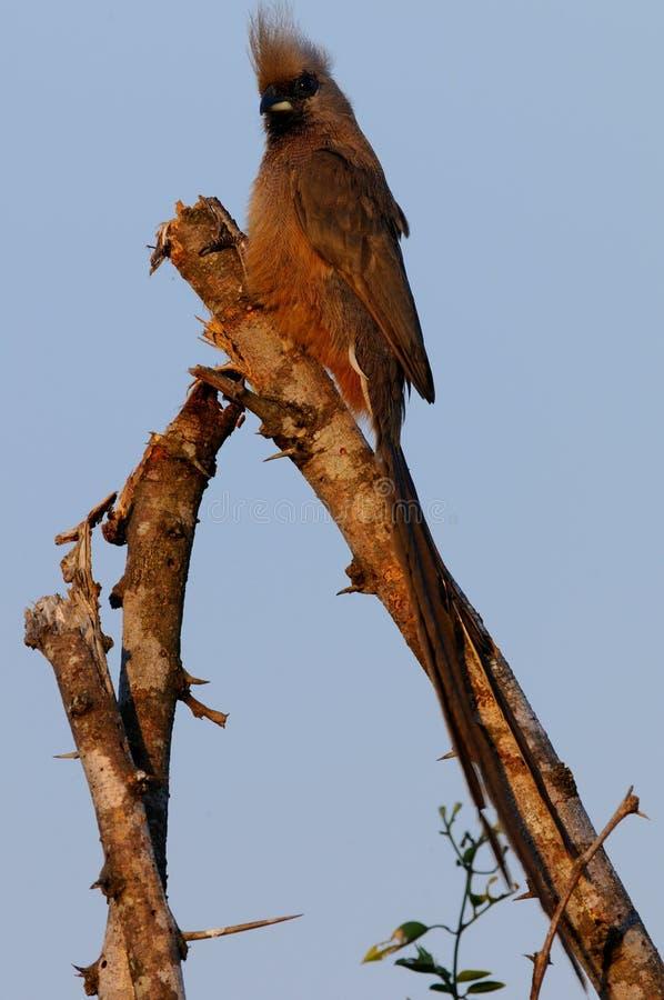 Uccello del topo immagini stock libere da diritti