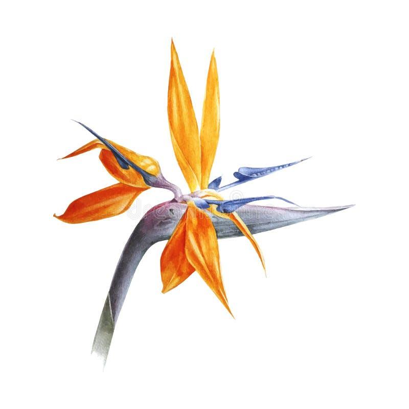 Uccello dell'acquerello del fiore di paradiso illustrazione vettoriale