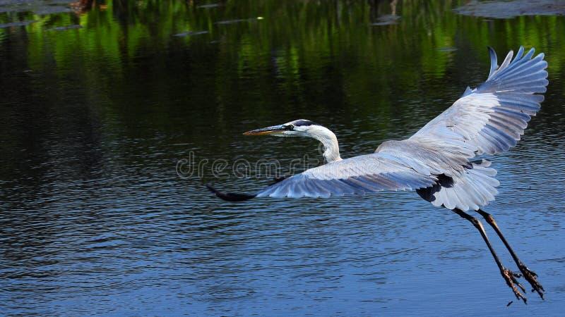 Uccello dell'airone di grande azzurro durante il volo immagine stock