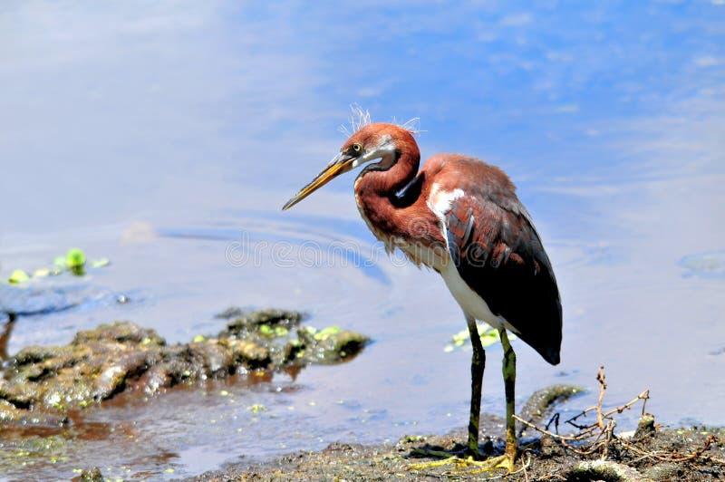 Uccello dell'airone tricolored giovane nelle zone umide di Florida immagine stock