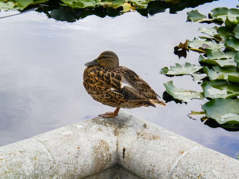 Uccello dell'anatra di Mallard che si appollaia alla riva in un lago immagini stock libere da diritti