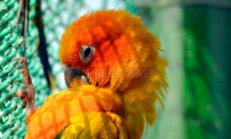 Uccello dell'animale domestico fotografie stock