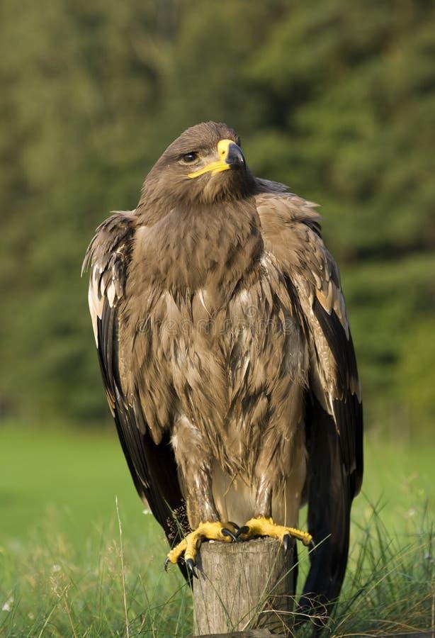 Uccello dell'aquila in campagna fotografie stock libere da diritti