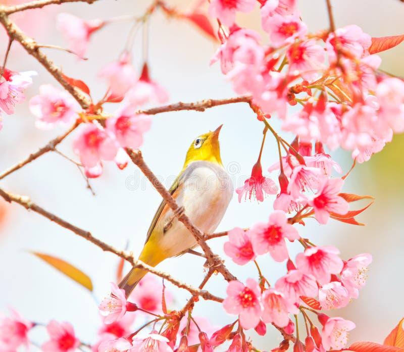 uccello dell'Bianco-occhio con Cherry Blossom immagine stock libera da diritti
