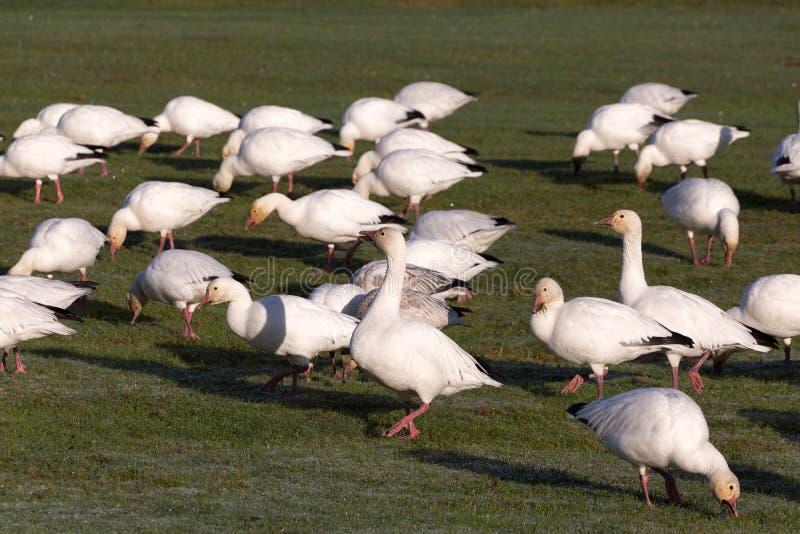 Uccello dell'oca polare immagini stock