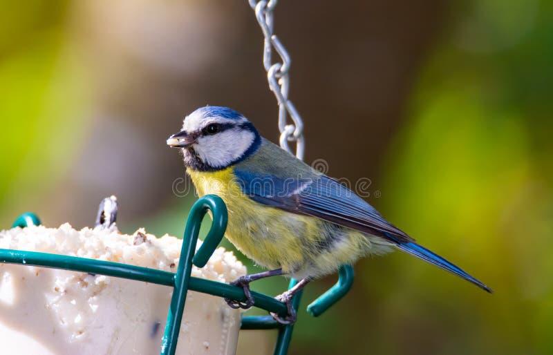 Uccello della cinciarella ad un alimentatore dell'uccello fotografia stock libera da diritti