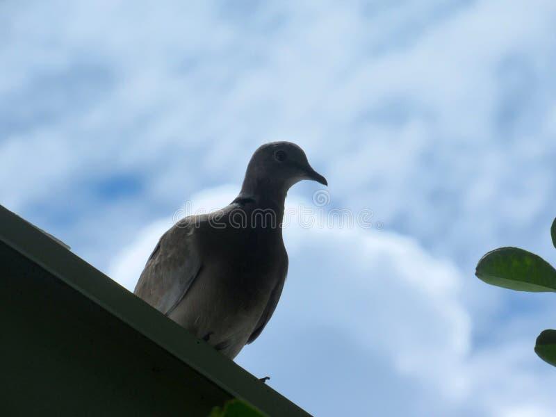 Uccello della colomba del tabacco sull'orlo di un tetto fotografia stock libera da diritti