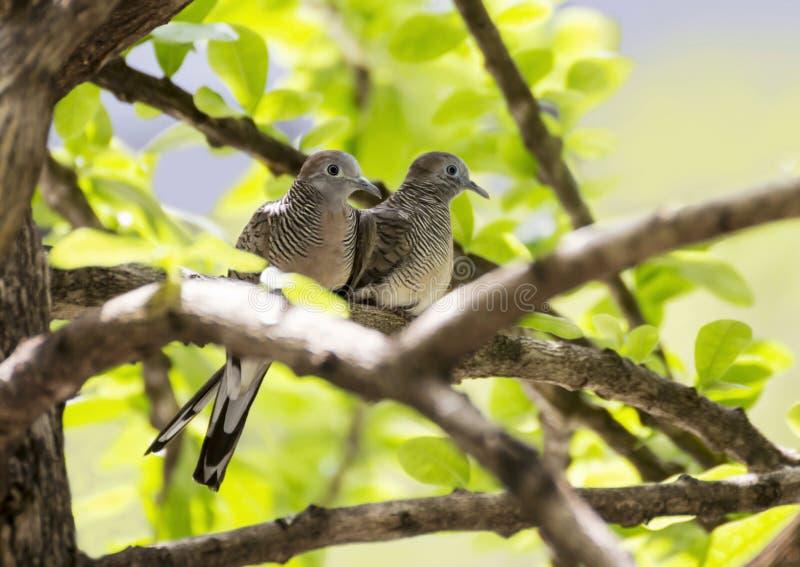 Uccello della colomba delle coppie sul ramo di albero immagini stock libere da diritti
