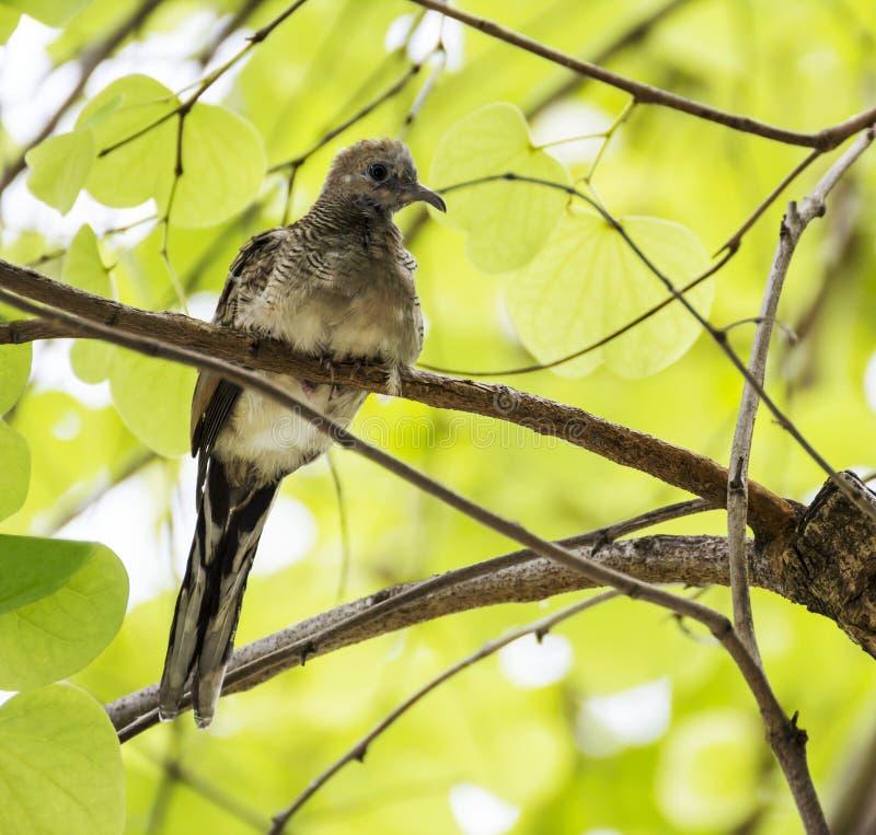 Uccello della colomba sul ramo di albero fotografia stock