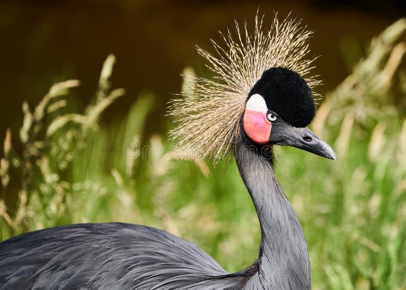 Uccello della gru incoronato il nero di Beaitiful fotografia stock libera da diritti