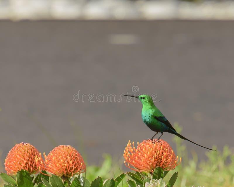 Uccello della malachite sul fiore arancio fotografia stock libera da diritti
