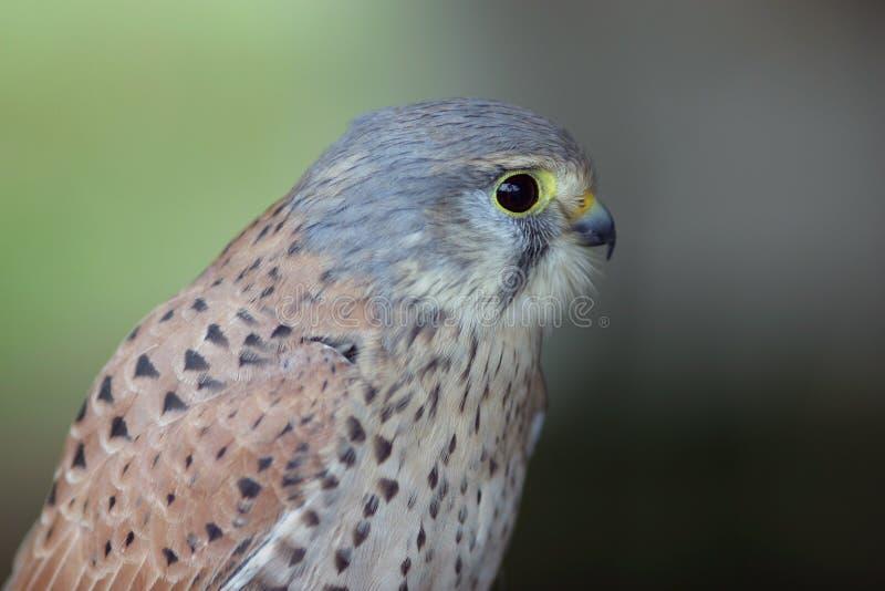 Download Uccello della preda immagine stock. Immagine di ritratto - 3891465