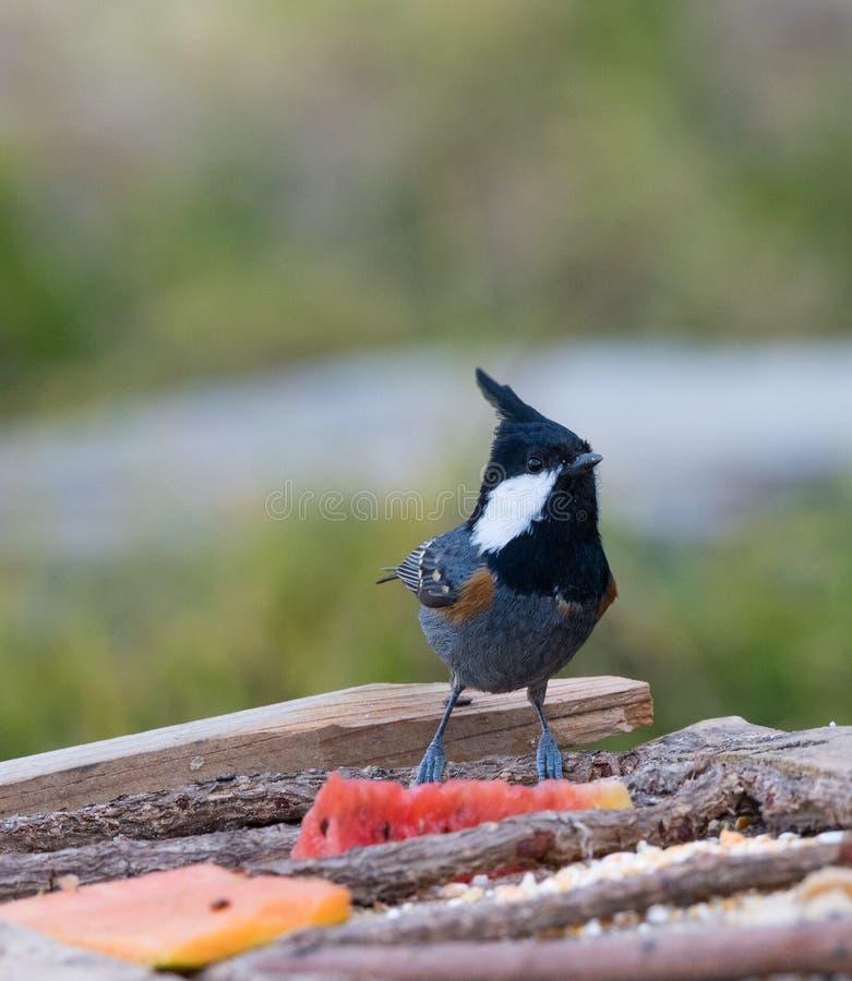 Uccello della sitta munito bianco immagini stock libere da diritti