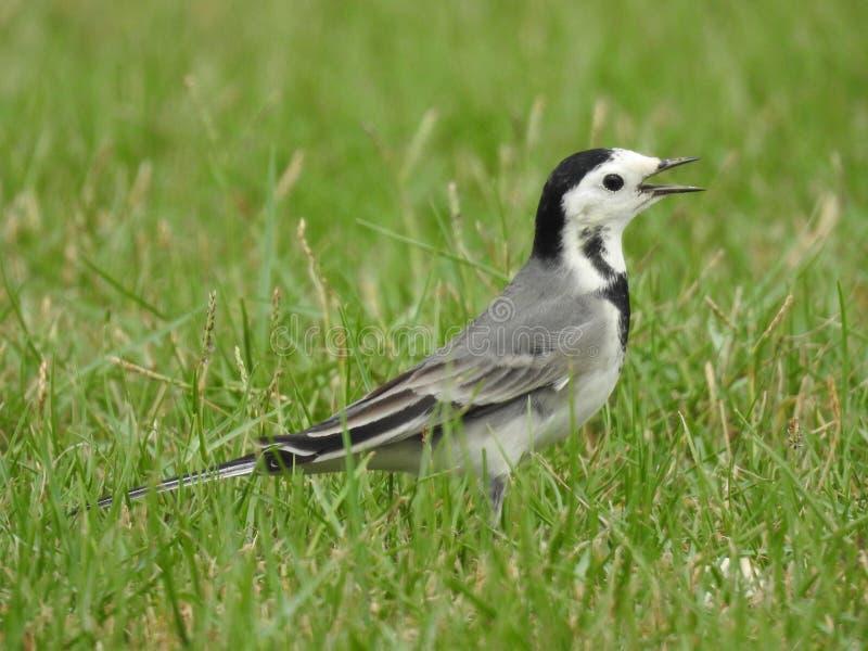 Uccello delle motacille su erba fotografia stock