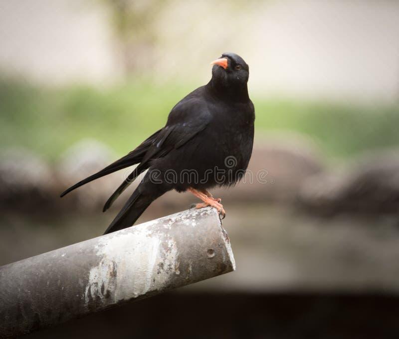 Uccello dello storno nero in natura fotografia stock libera da diritti