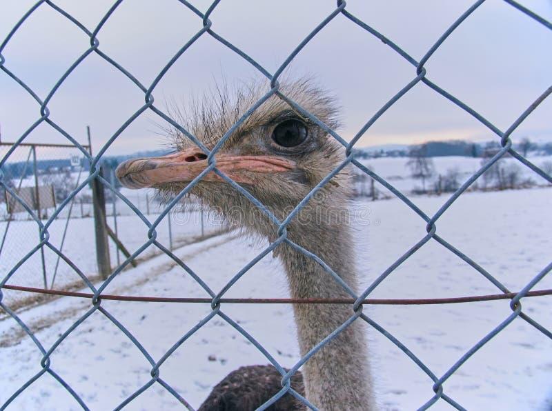 Uccello dello struzzo nella cattività immagini stock