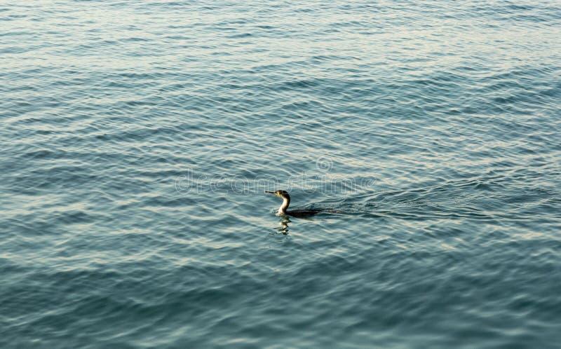 Uccello dello svasso al mare fotografia stock libera da diritti