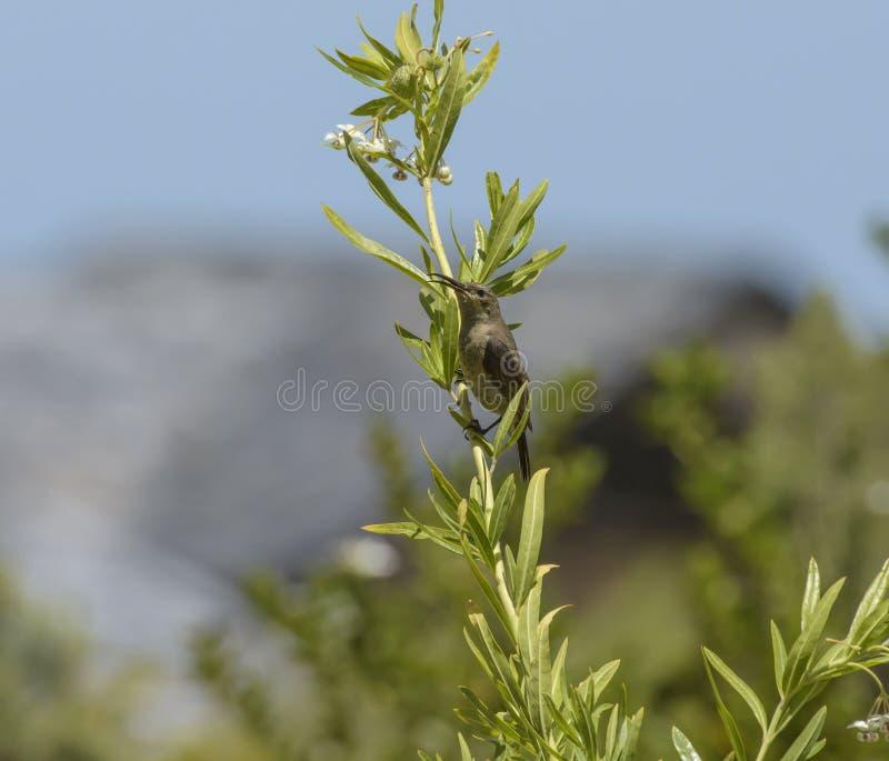 Uccello dello zucchero del capo, con il becco aperto e la pianta di seduta del milkweed immagini stock