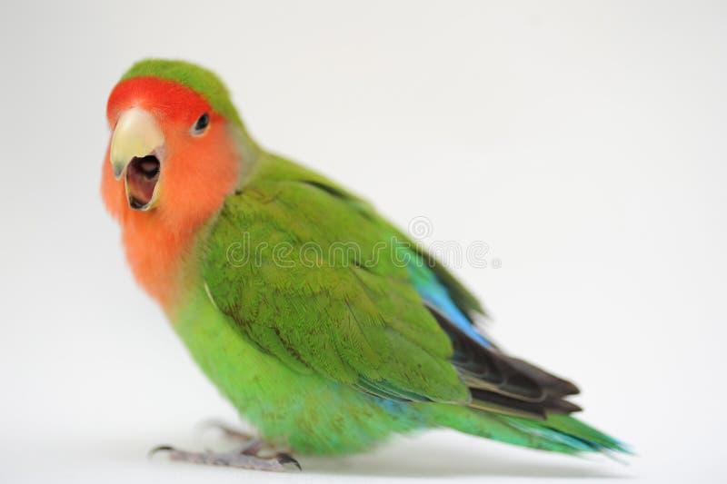 Uccello di amore fotografia stock