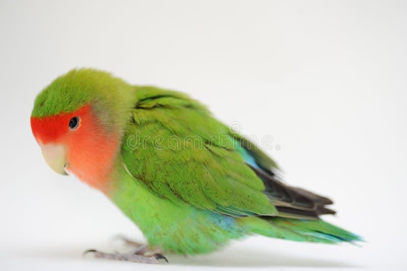 Uccello di amore immagini stock libere da diritti