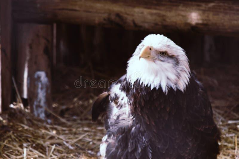 Uccello di aquila bianco e nero immagine stock libera da diritti