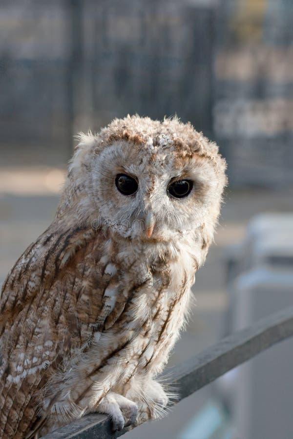 Uccello di bambino del gufo immagini stock libere da diritti