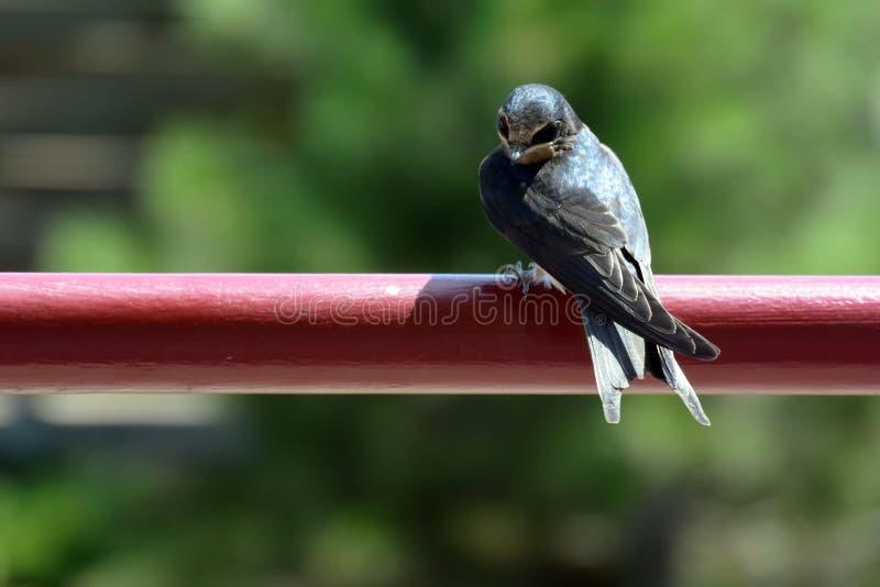 Uccello di bambino del sorso di granaio che si siede sulla costola metallica immagine stock