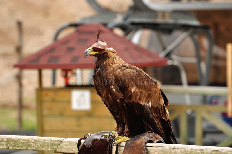 Uccello di caccia fotografia stock
