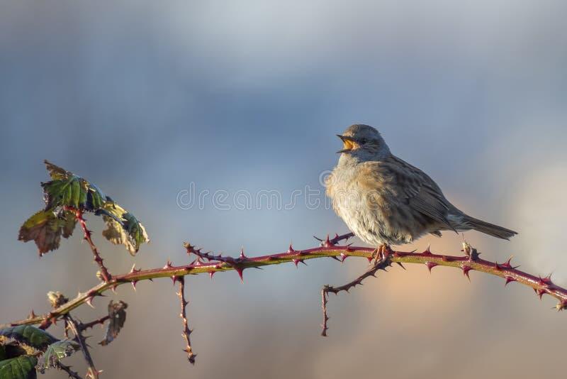 Uccello di canto del Dunnock fotografia stock libera da diritti