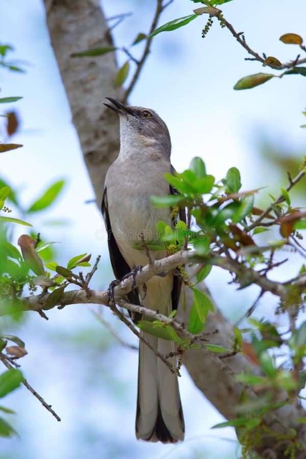 Canto di derisione nordico dell'uccello (polyglottos del Mimus) fotografia stock