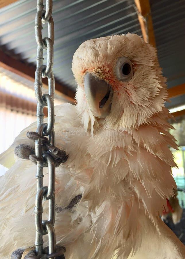 Uccello di Cocotoo nella vita africana dell'animale domestico fotografie stock