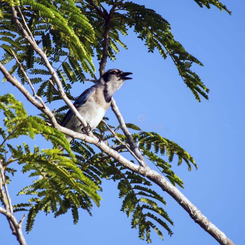 Uccello di cyanocitta cristata di canto immagini stock libere da diritti