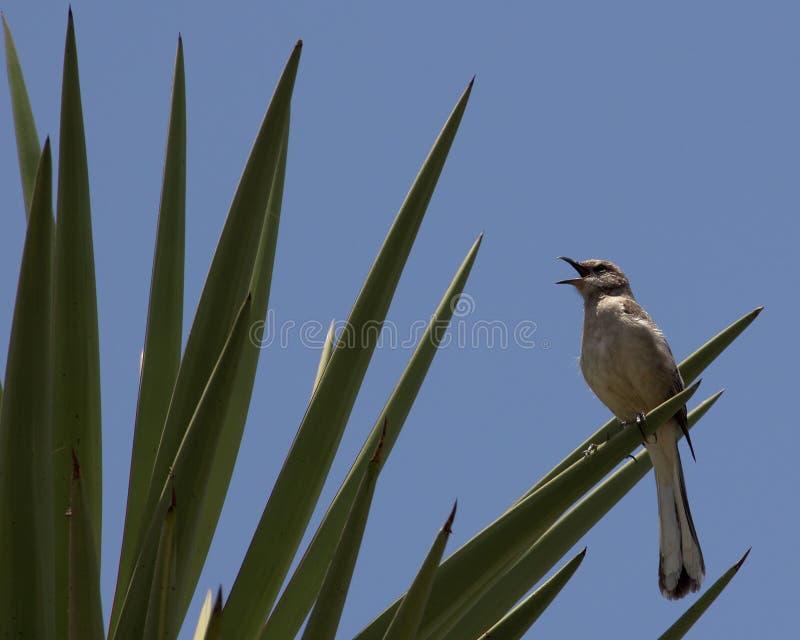 Uccello di derisione immagine stock libera da diritti